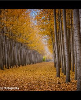 Boardman, Oregon and the Poplar Tree Farm