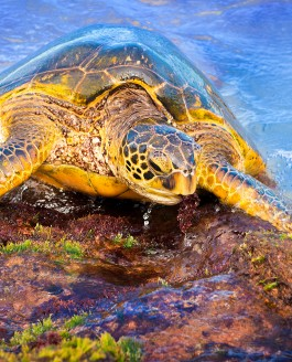 Sea Turtles in Maui, Hawaii