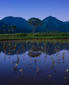 Taro Field Sunrise, Kauai